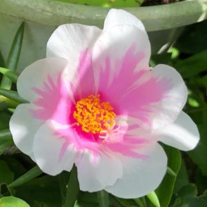 雨知らせ花とコガネムシの引越し先。