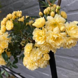 大風後の黄木香バラ仕立直し