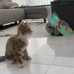 シャカぶんで初めて遊ぶマンチカン子猫!