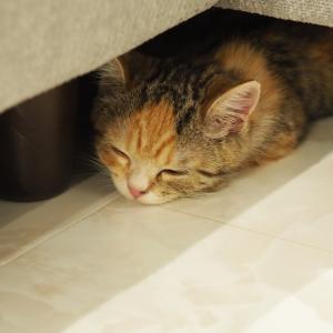 マンチカン子猫りんの寝顔特集!