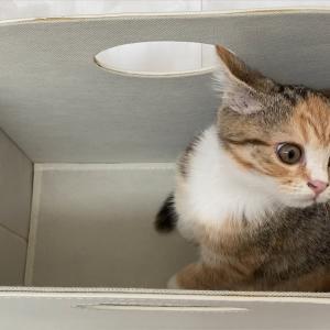 収納ボックスがお気に入りのマンチカン子猫