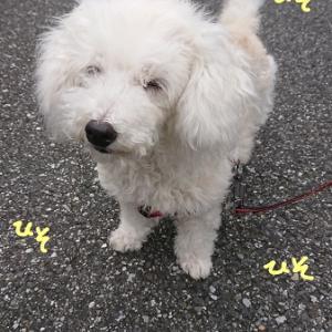 オノマトペ写真館  「もしかして、ゴールデンレトリバーの子犬?」