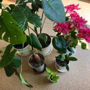 【増えたモノ】観葉植物