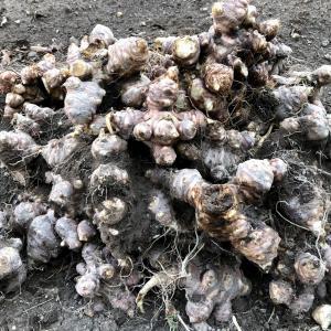 (越冬)キクイモの掘起しとキクイモレシピ
