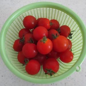 おうち時間で家庭菜園-今年のトマトは豊作です🍅-