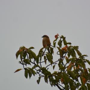ジィちゃんとカワセミ探し、大栗川の野鳥/2020-09-27