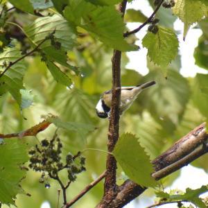ジィちゃんと探鳥、丹沢湖の野鳥、ジョウビタキはまだか…/2020-10-18