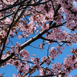 桜と満月と、サザエさん。