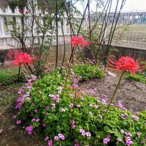 うちの庭にも彼岸花が咲きました✿