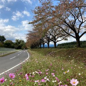秋桜が綺麗✨今が見頃!休みの日にリフレッシュ♪