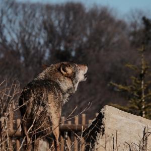 Memorial photo 狙いは狼の遠吠え