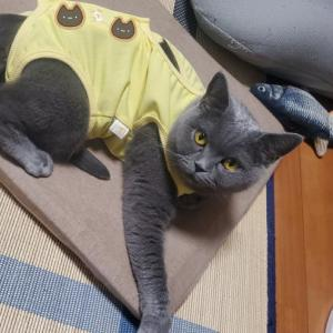 【怖がり猫の避妊手術】麻酔リスクありの決断。抜糸までの流れや費用詳細。