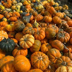 ニューヨークの秋、ロングアイランドでパンプキンピッキングを楽しみましょう