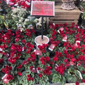 ミニシクラメンショコラの寄せ植えとハロウィンの飾り