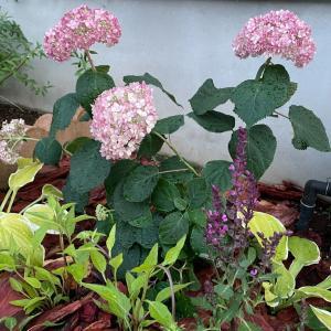 ジョイフルでピンクのアナベル2を買ってきて花壇に植え込んだよ!