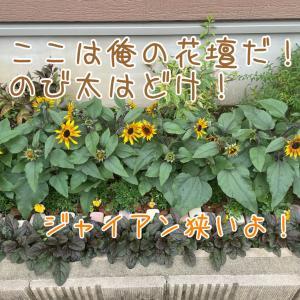 花壇の中にジャイアンは絶対1人いるよね(笑)ヒマワリがたくさん咲き出しました♪