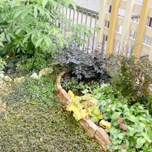 ペルシカリアが海の様になってしまった…雨の中のお庭♪