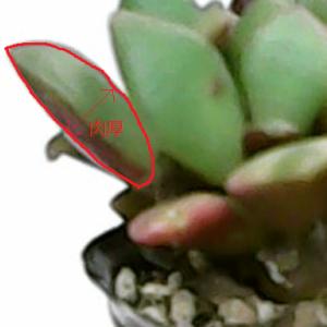 【7日目】なぜ多肉の葉や茎は肉厚なんだろう?