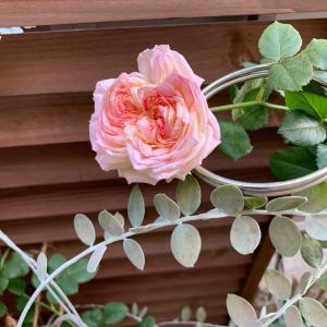 ベランダのバラとココタロさん。