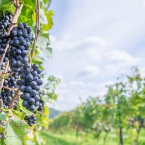 ヨーロッパのワインの話