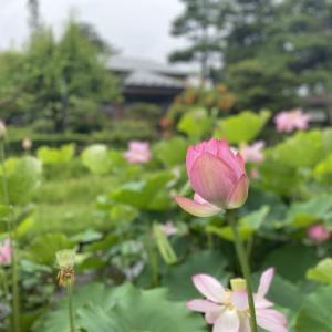 御薬園 蓮の花の開花 会津若松市民無料招待券