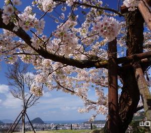 陶芸の村公園の玉縄桜と河津桜