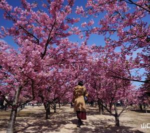 萩しーまーとの河津桜2020