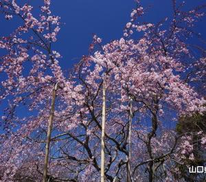 熊野神社の三春の瀧桜