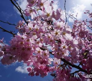 志和田の陽光桜