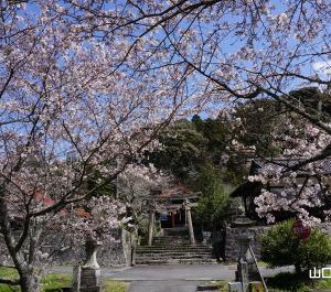勝馬田八幡宮の桜