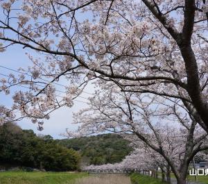 稲川遊歩道の桜並木