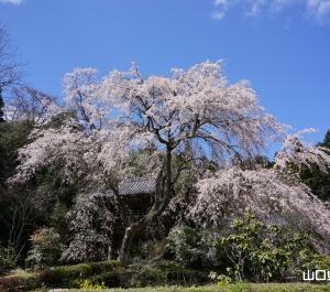極楽寺の枝垂桜