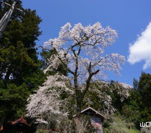 嘉年八幡宮の枝垂桜