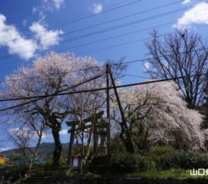 柚木神社の枝垂桜とエドヒガン
