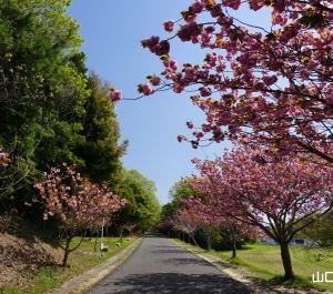 ときわ公園周遊園路の八重桜