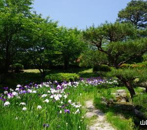 毛利氏庭園の花菖蒲