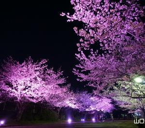 ときわ公園の桜ライトアップ
