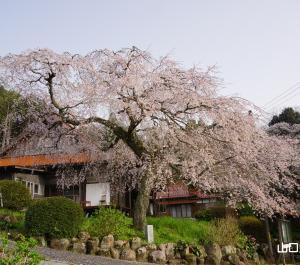 西円寺のしだれ桜