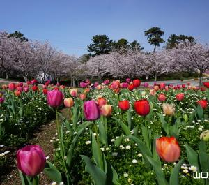 ときわ公園の桜とチューリップ