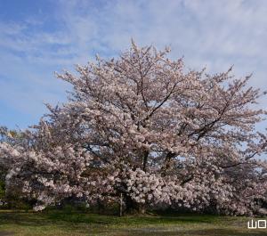 和顔大樹の桜