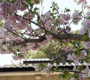 楊貴妃の里の楊貴妃桜と八重桜