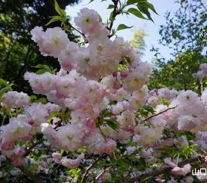 八重紅虎の尾桜、天の川桜、松月桜
