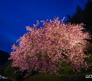 八重桜ライトアップ