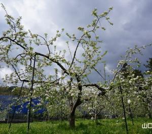 友清りんご園のりんごの花