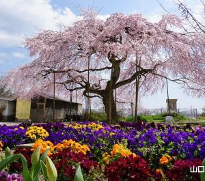 浅江小学校の枝垂桜