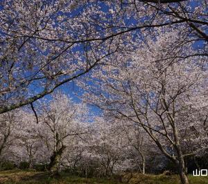 杵築神社の桜