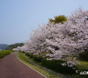 寝太郎公園の桜