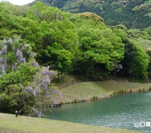 八ヶ尻池の藤