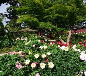 ときわ公園の芍薬