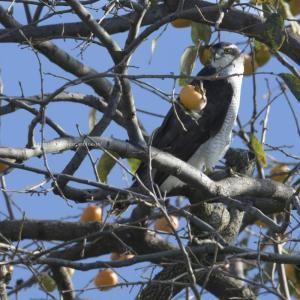 隣の鷹はよく柿の木に止まる鷹だ…w